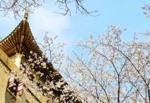 不觉走到樱园,这里满满都是樱花树,和地上铺满落花相互映衬,名副其实的樱花大道